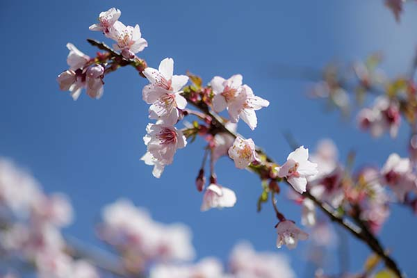 おかめ桜がまだ咲いていました