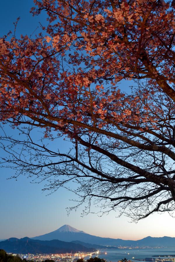 早咲き桜と富士山