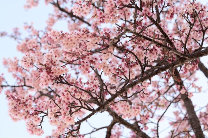 小さな櫻花