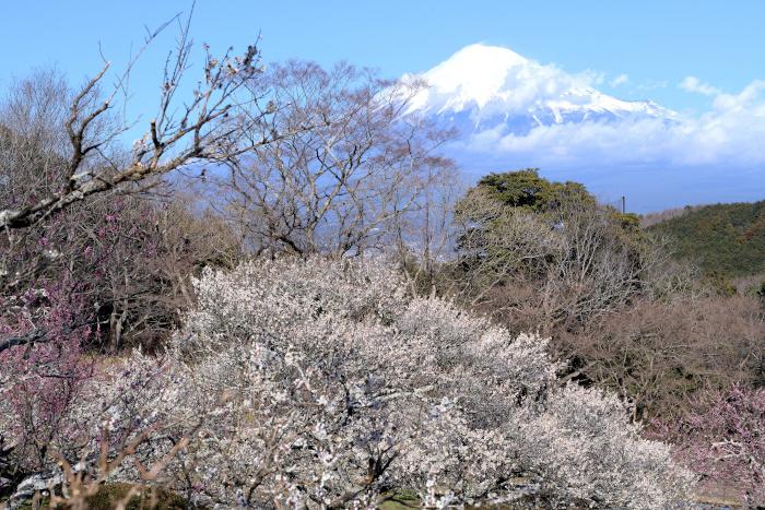 白梅の大木と富士山