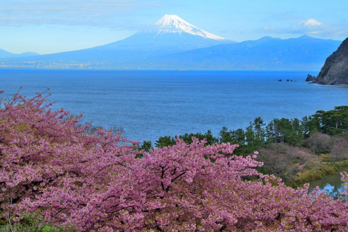 駿河湾と河津桜と富士山と
