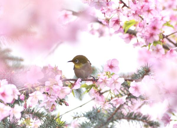 エピ桜とメジロI