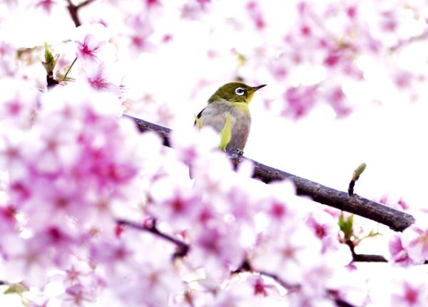 エピ桜とメジロII