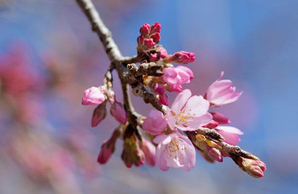 早崎の枝垂れ桜