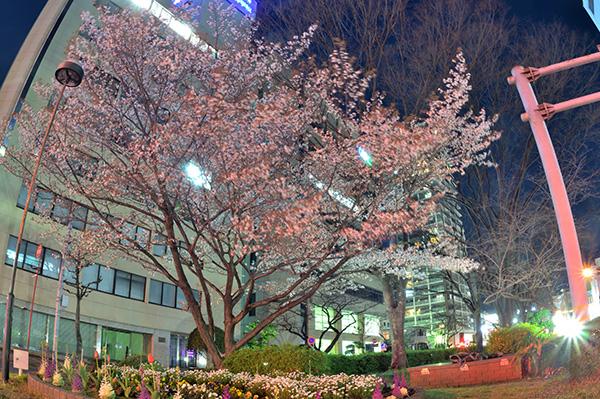 都市の山桜夜景