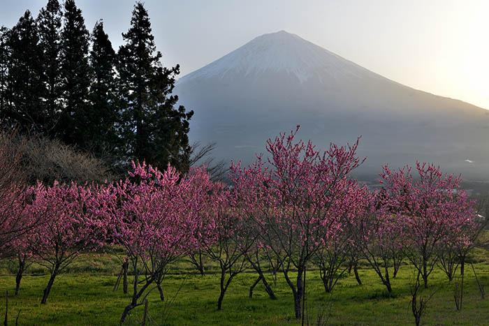 梅林と富士山