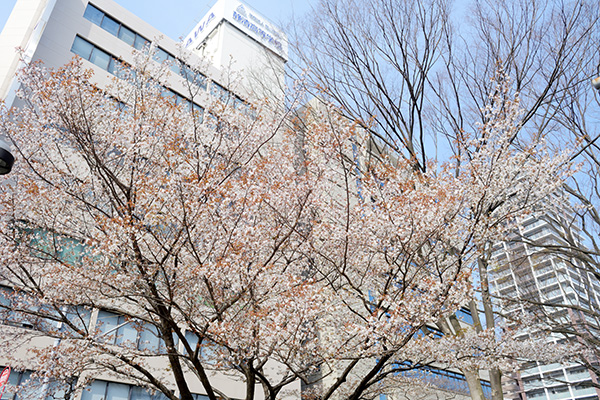 ビル街に咲く山桜
