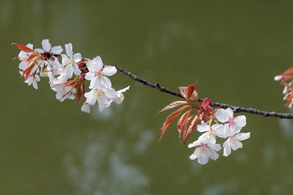 駿府城公園のお堀の山桜