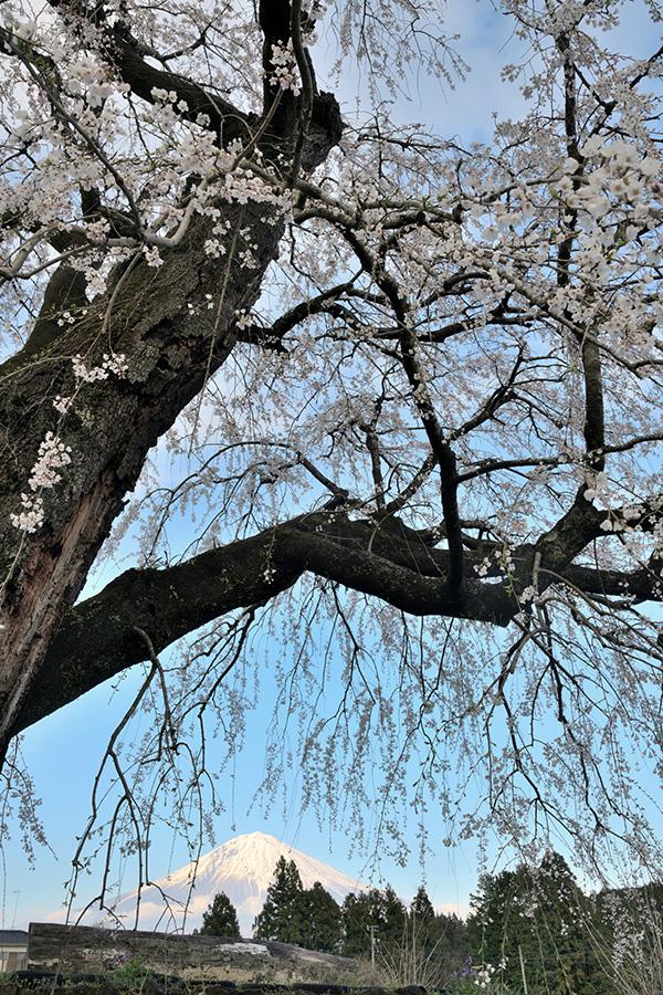 常境寺の桜の古木