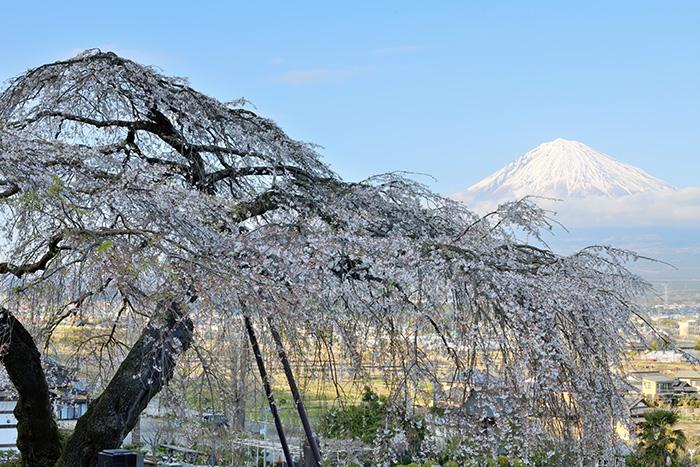 枝垂れ桜ごしの富士山