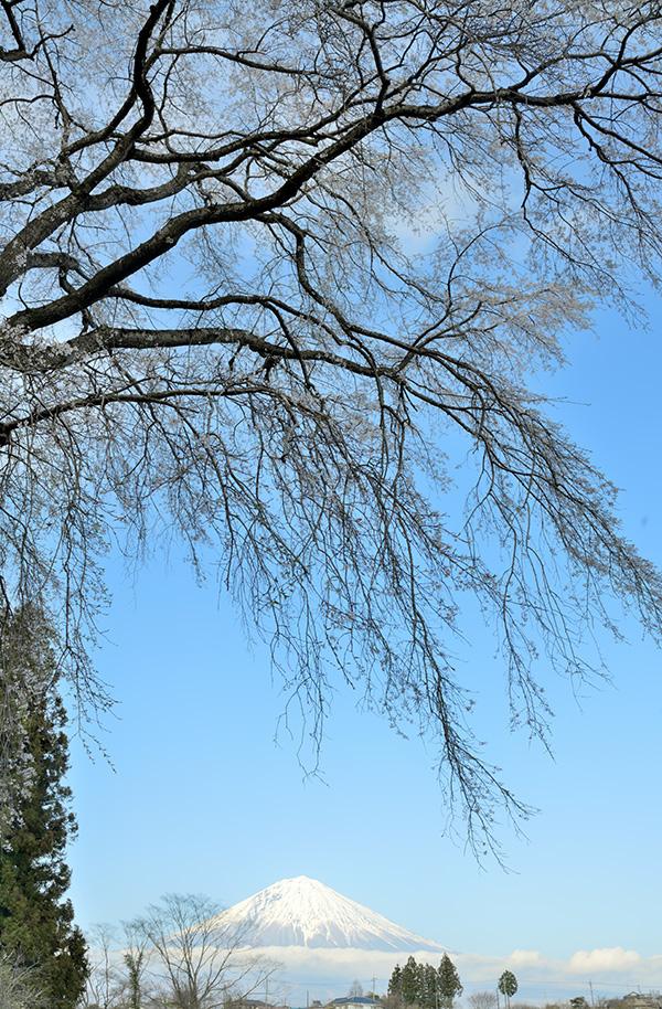 千光寺の枝垂れ桜