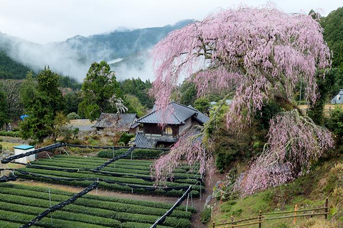 聖一国師の桜