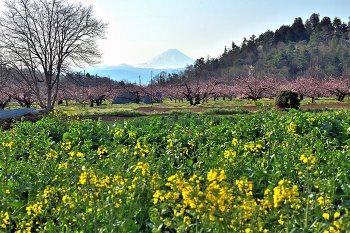 菜の花と桃の花さく新府からの富士山