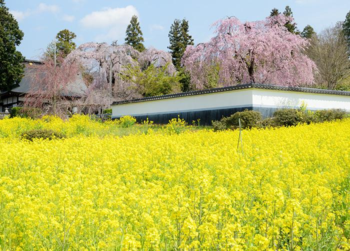 慈雲寺の菜の花畑