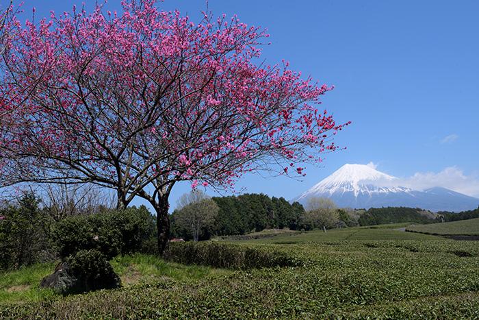 ハナモモ咲く茶畑