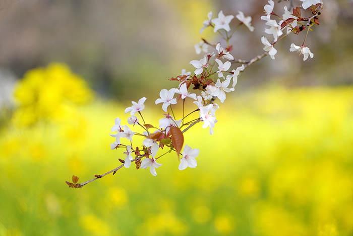 狩宿の下馬桜狩宿の花