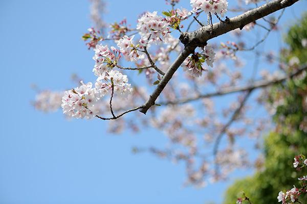 静岡市の桜もこれが見納めでしょう