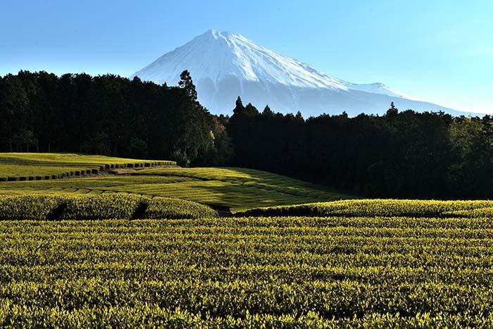 早朝の茶畑の風景