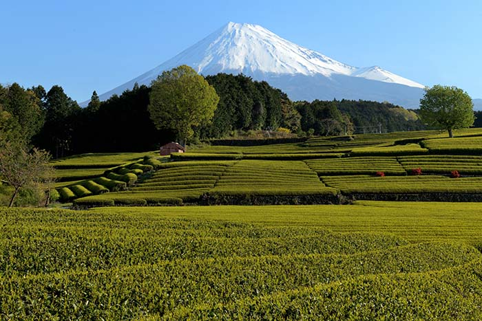 快晴、茶畑の風景