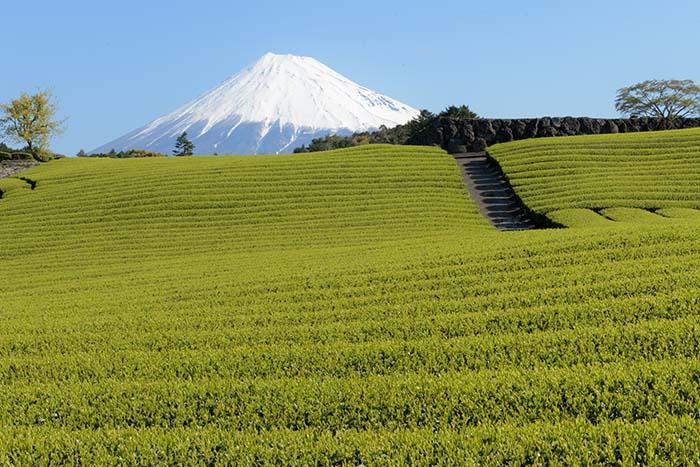 青空に耀く茶畑