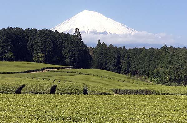 茶畑からの富士山