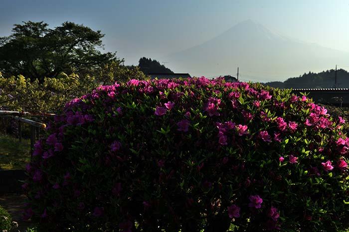 ツツジ越しの富士山
