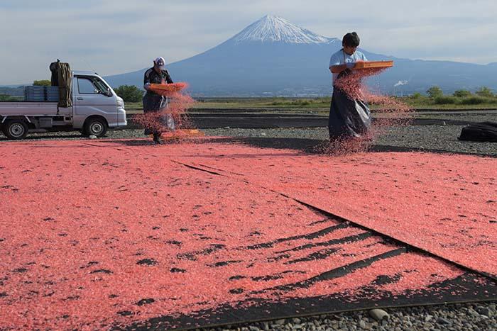 静岡の春の風物詩