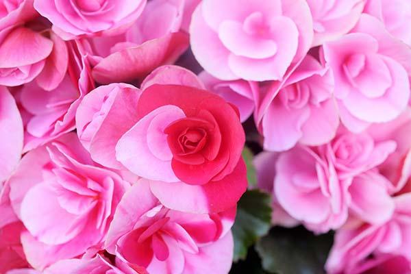 色とりどりの花房