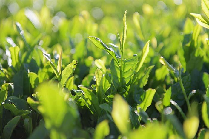 午後の茶畑