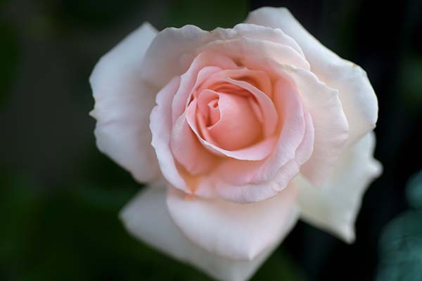 母の日プレゼントしたバラが今年も開花しました