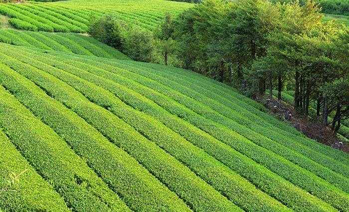 美しい山間地の茶畑