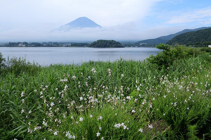 ガウラ咲く湖畔