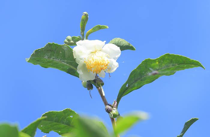 お茶の花がきれいでした