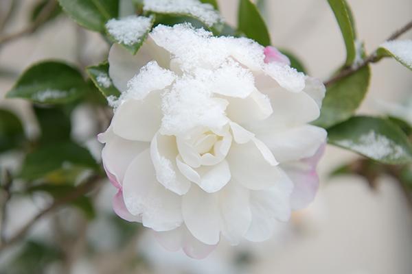 山茶花、雪に咲く