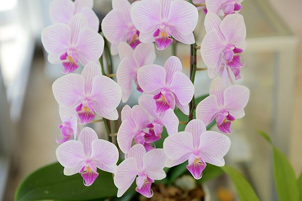 胡蝶蘭をネット販売しているマルハナ