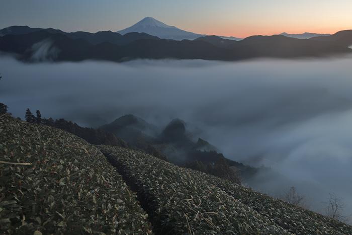 雲上の茶畑