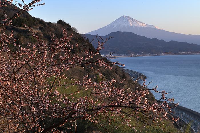 興津桜の目覚め