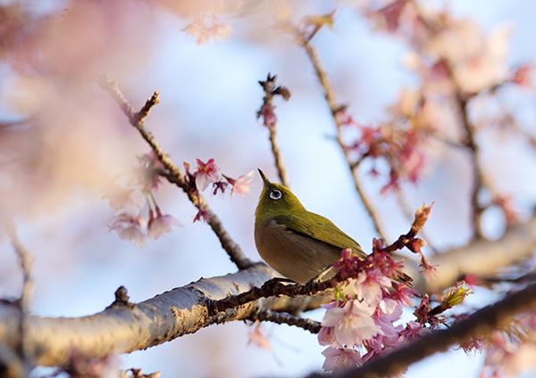 可憐な桜とメジロ