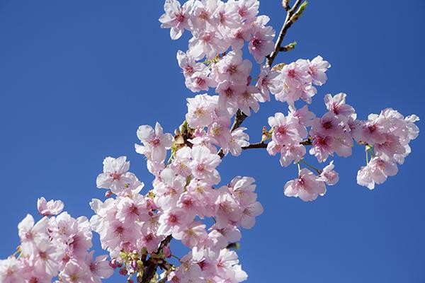 駿府城公園の小室桜