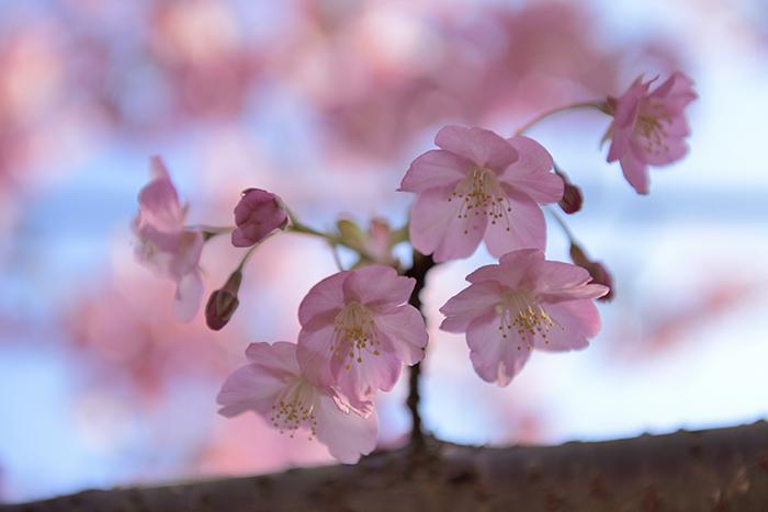 河津桜可憐