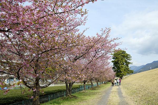 桜は葉桜寸前でした