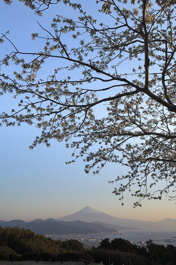 山桜咲く日本平展望