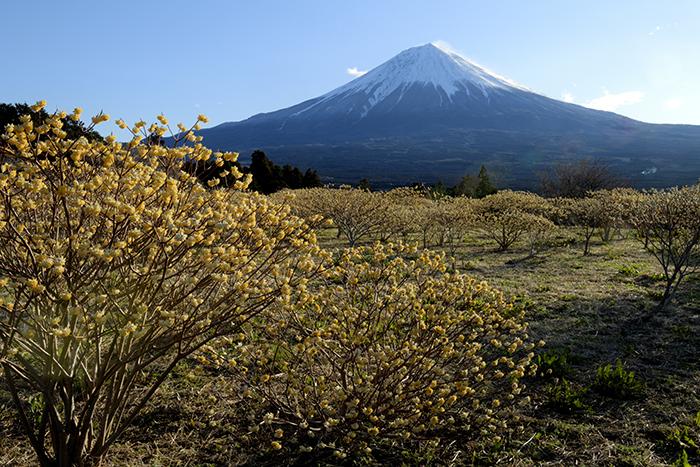 ミツマタの群落と富士山