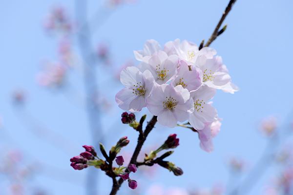 外堀の早咲き桜