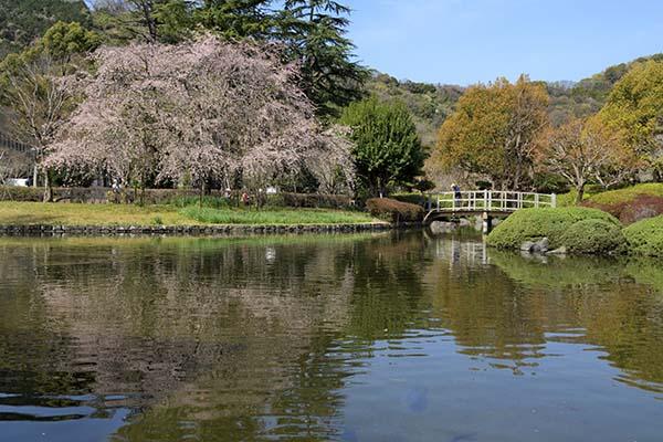 城北公園日本庭園から枝垂れ桜