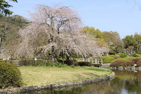 写生ポイントからの桜