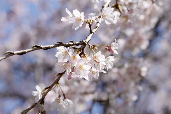 小ぶりな桜がきれいです