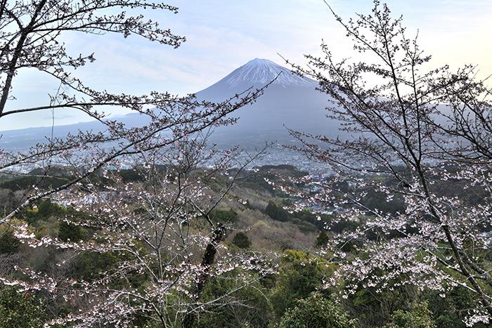 明星山の桜
