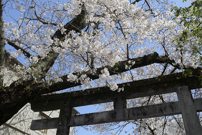一加番神社の桜、今年も撮れました
