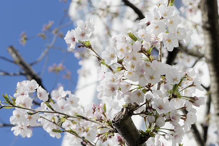 元佐橋産婦人科の山桜